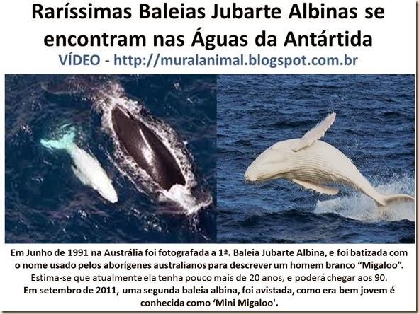 Raríssimas Baleias Jubarte Albinas se encontram nas Águas