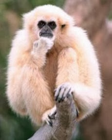 Amazing Pictures of Animals, Photo, Nature, Incredibel, Funny, Zoo, Gibbons, Hylobatidae, Primate, Mammals, Alex (4)