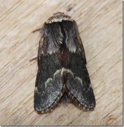 December-Moth