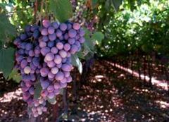 1088480_grapes