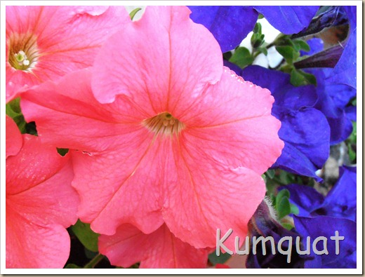 petunias 3