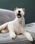Lucie, a wire fox terrier, has the wacky glamour of Lucille Ball.
