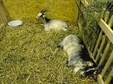 2015.02.26-007 chèvre de Lorraine