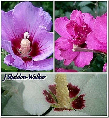 Rose of Sharon Collage