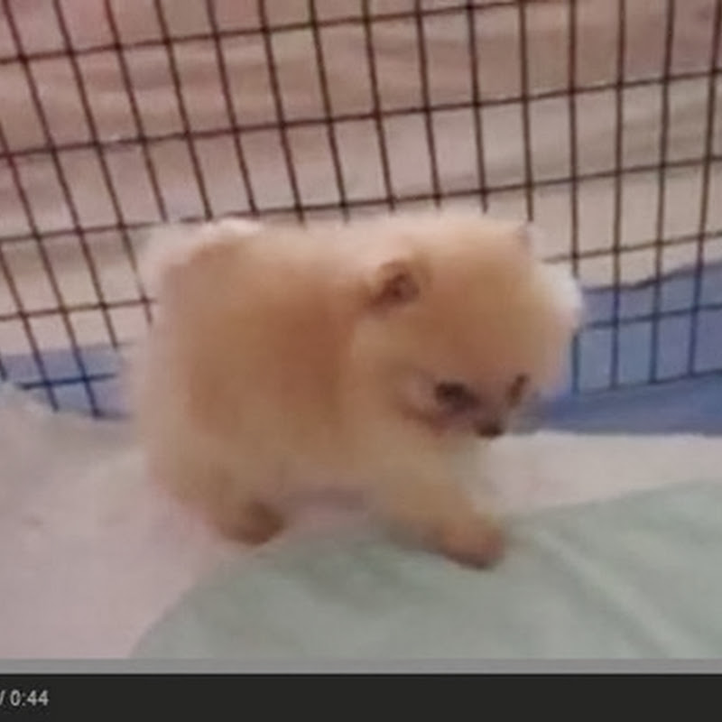 Pomeranian κουτάβια