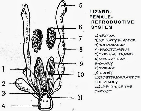 reptile-reproductive-system-female