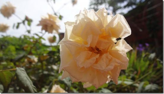 flor-flores-rosas-imagens240