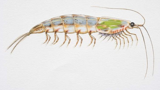 Antarctic krill. Krill are under threat from ocean acidification. Geological records show the current acidification is unparalleled in at least the past 300 million years, IPSO's State of the Ocean 2013 report says. Graphic: Australian Antarctic Division