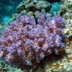 koralowiec_miekki_purpurowy - Litophyton sp. 02  .jpg