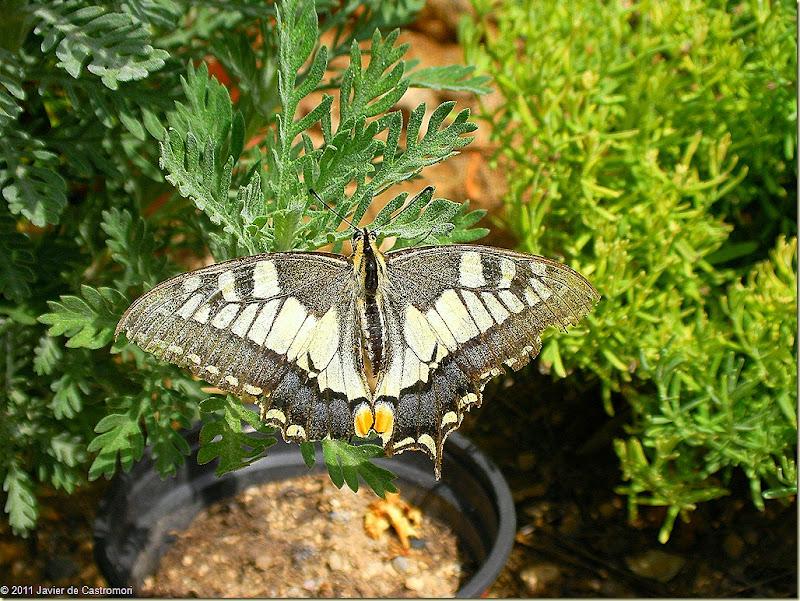 Javier de Castromori, Una gran mariposa, esta mañana, en el jardín...