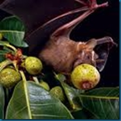bat eating fruit