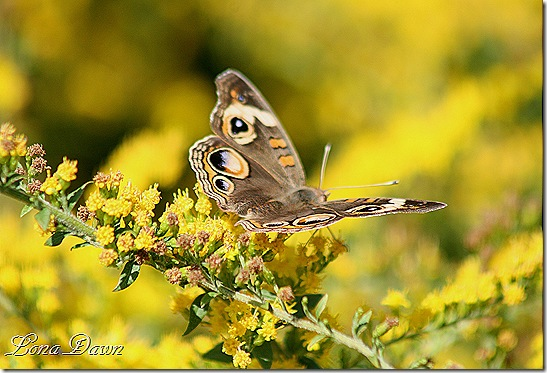 FPC_Butterfly_CommonBuckeye3