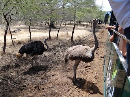 Photo safari Mauritius: Struti in Casela Park