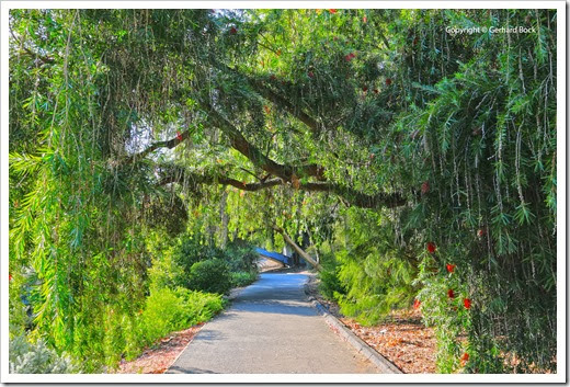 131124_UCD_Arboretum_AustralianCollection_Callistemon viminalis_02