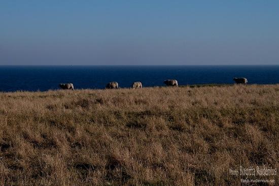 skane_20111016_sheep