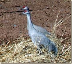 The Crane Twins 1-19-2012 1-28-03 PM 703x617