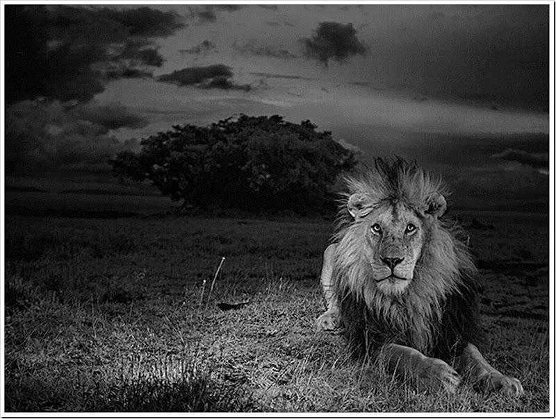 lion5557