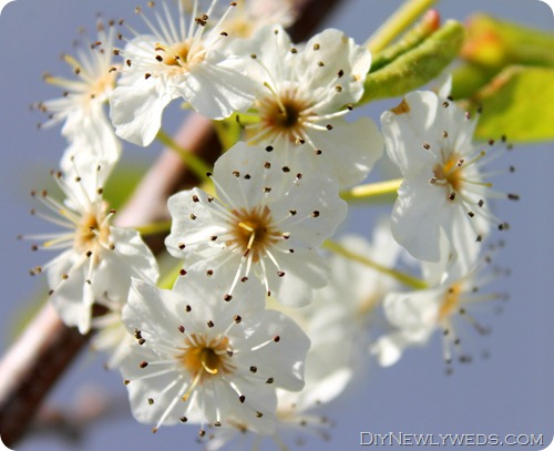 flowering-cleveland-pear-tree