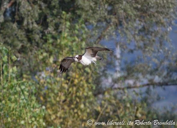 9_Falco pescatore_Pian di Spagna (14)