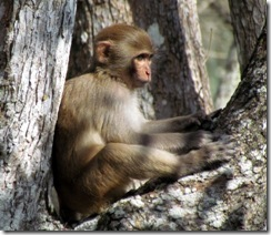 Rhesus monkey on Silver River