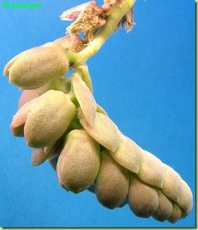 Pachyphytum oviferum infiorescenza lato cincinno