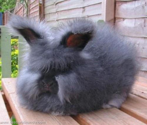 coelho angora peludo desbaratinando (13)