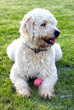 labradoodle-dog-22512046