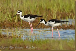Black-necked Stilt  _ROT4139   NIKON D3S June 04, 2011