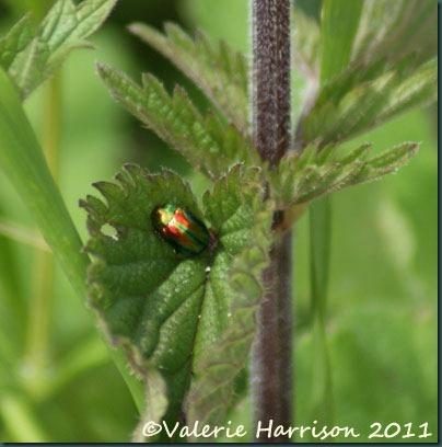 11-leaf-beetle