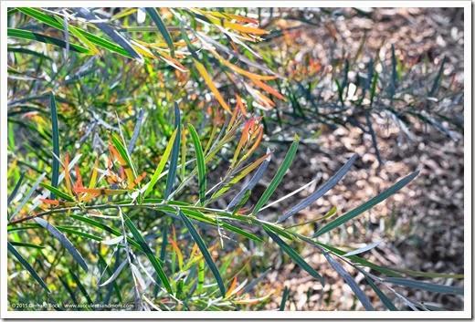 150307_UCDA_022_Acacia-iteaphylla