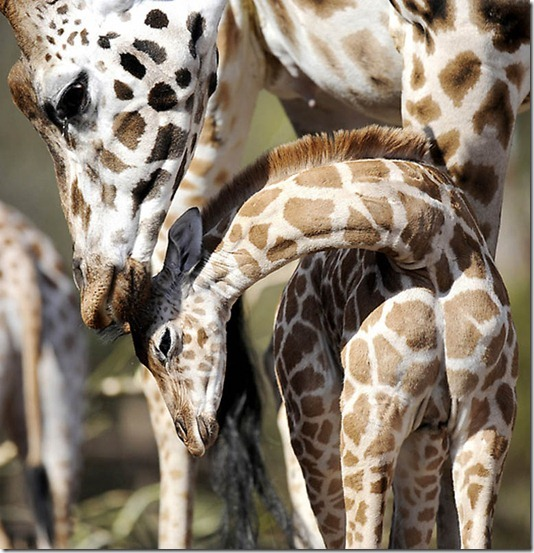 GERMANY-ANIMALS-GIRAFFE-BABY
