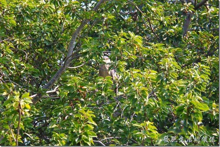 台南-四草竹筏綠色隧道(夜鷺)。生態解說員發現在茂密的樹欉中躲著一隻俗稱暗光鳥的「夜鷺」,可惜沒法看清其真正的樣貌。
