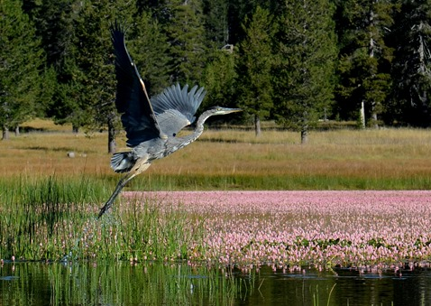 take off blue heron on Medicine Lake