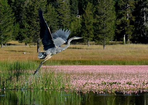 take off blue heron on Medicine Lake