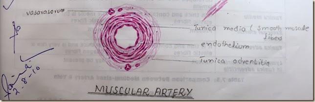 muscular artery high resolution histology diagram