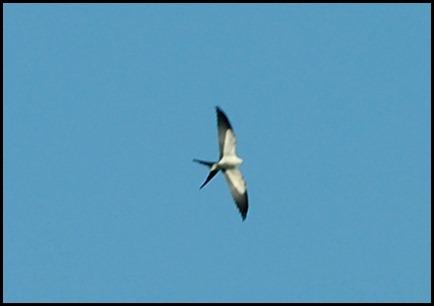 04b - Swallow Tail Kite