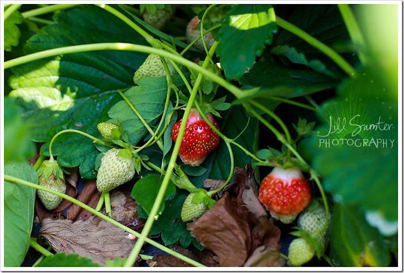 strawberryfields-4947