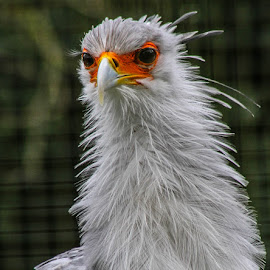 The Secretary bird by Garry Chisholm - Animals Birds ( bird, garry chisholm, nature, wildlife, secretary )