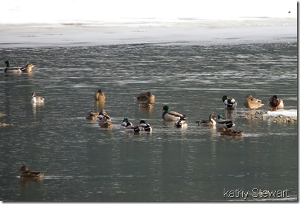 Collection of ducks
