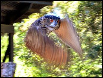 05h4 - Flight Demo - Euroasian Owl