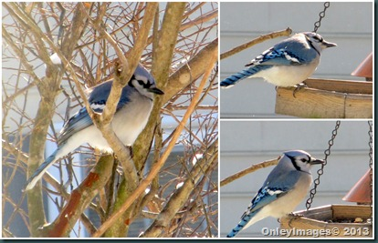 blue jay-feeder