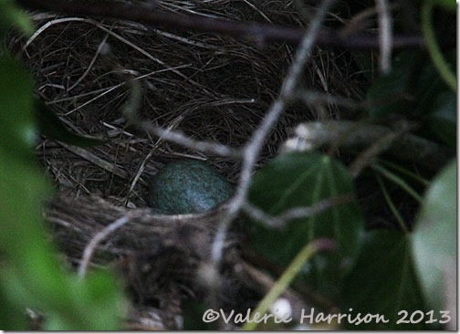 blackbirds-nest