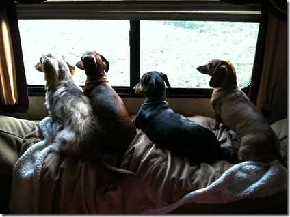 The Four Weiner Dogs!!