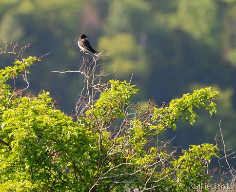 3. Eastern kingbird DSC_0406-kab