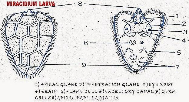 miracidum-larva-fasciola