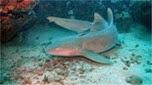 Indo-Pacifique requin nourrice