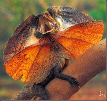 Amazing Animal Pictures Frill Necked Lizard (8)