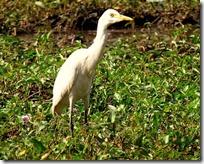 107a Cattle Egret ( Dhor Baglo )