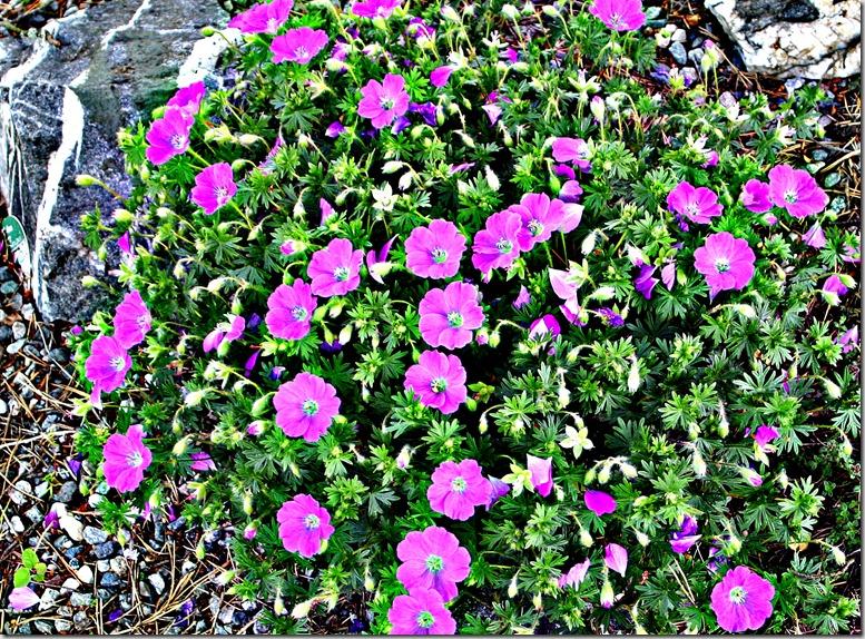rosa G i stenbed