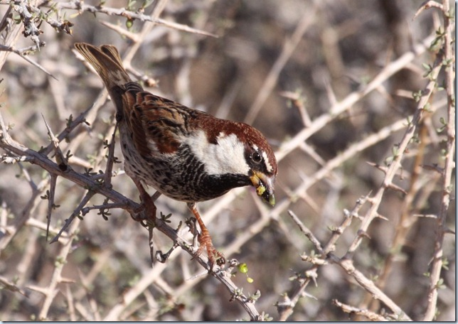 spanish_sparrow